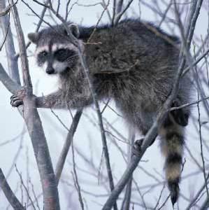 raccoonintree