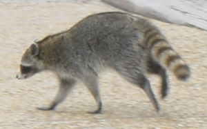 raccoonwalking