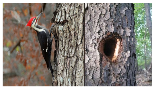 Pleated_Woodpecker