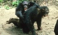 chimp_violence